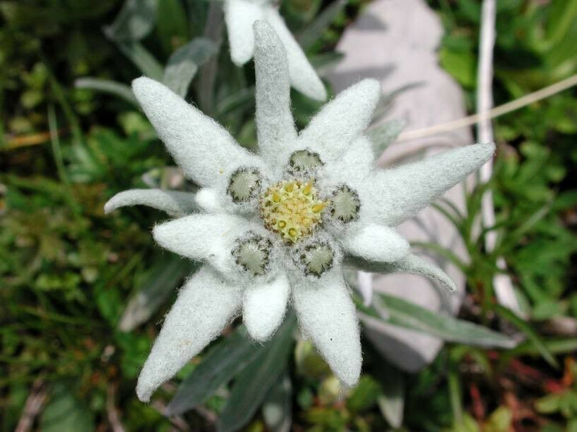 Primary image for SHIPPED FROM US 100 Edelweiss Leontopodium Alpinum Flower Seeds, SB01