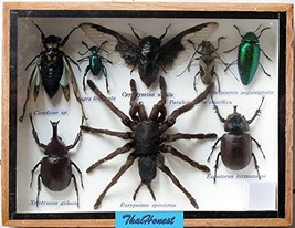REAL TARANTULA SPIDER AND MIXS INSECT TAXIDERMY SET IN BOXES DISPLAY FOR... - $34.75
