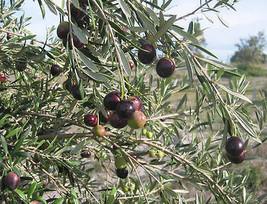 Olea europaea - 'Manzanillo' - olive tree - $6.89