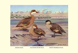 Bahama, Galapagos Island, and African Red-Billed Ducks by Louis Agassil ... - $19.99+