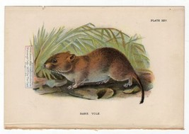 Bank Vole Rodent Original c1896 Chromolithography Print - $7.69