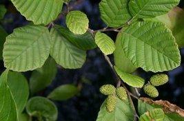 1/8 Oz Seeds Alnus Incana Subsp. Rugosa Speckled Alder - $44.55