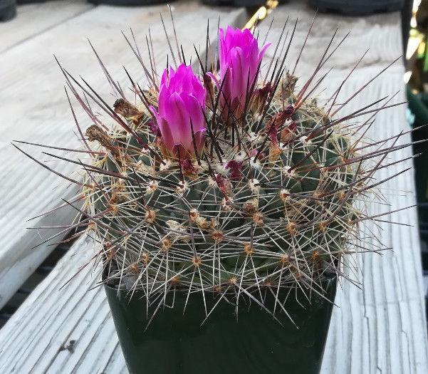 Mammillaria rubrograndis large head pin cushion cactus pink flowers s l1600 mightylinksfo