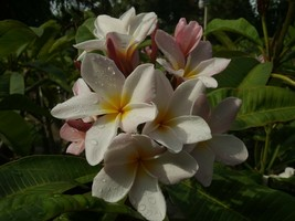 Rare & Exotic! Sunset Hawaiian Plumeria Frangipani plus obtuse isabella ... - $19.95