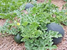 40+SUGAR BABY(Lunch Box)WATERMELON Seeds Non-Gmo Organic 5-9lbs Garden/C... - $2.50