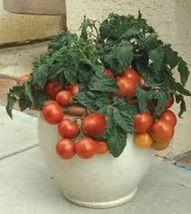 Best Price Patio F1 Hybrid Tomato, Am Diy Home Garden Fruits 50 Seeds - $47.99