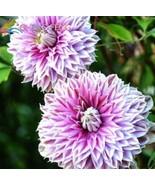 200pcs/lot Mix Beautiful Clematis Seeds Bonsai Flower Seeds - $34.99