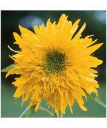 Double Quick Orange Sunflower Seed, Sunflower Seeds - $21.00