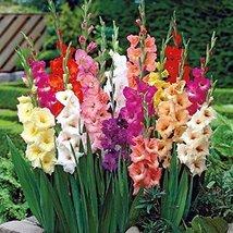 10 Gladiolus Large Bulbs Light Color Mix Flower - $23.76