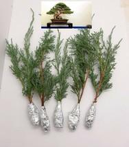 5 Juniperus Virginiana Blue Cloud Tree Cutting - $27.62