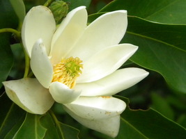 Native Tree, Swamp (Sweetbay) Magnolia, Showy and Fragrant - $10.00