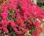 Plant bougainvillea    barbara karst   it s not seeds  01 thumb155 crop