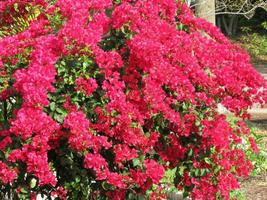 Plant Bougainvillea - 'Barbara Karst' (It's not seeds) - $24.99