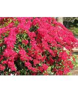 Plant Bougainvillea - 'Barbara Karst' (It's not seeds) - $24.99