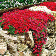 50 Pcs Flowering Ground Cover Seeds for Home Garden Bright Red Rock Cress - $4.92