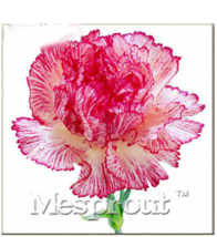 100 SEED PINK Carnation Seeds Balcony Potted Dianthus Caryophyllus Flower - $4.99