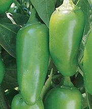 100 Organic Jalapeno Pepper Seeds Heirloom Gardening - $1.79