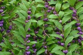American Beauty Berry shrub qt. pot image 3