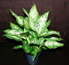 "6"" Dieffenbachia Compacta Gorgeous Large Tropical Houseplant Shipped Inside Pot - $77.89"