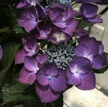 10 Black Diamond Hydrangea Seeds Perennial Hardy Garden Shrub Flower Bus... - $23.95