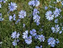BLUEST BLUE CHICORY 500+ SEEDS ORGANIC, BEAUTIFUL BLUE CUT FLOWER - $8.99