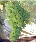2 Cuttings of Thompson Seedless Grape Vine, Seedless Grapes  - $12.75