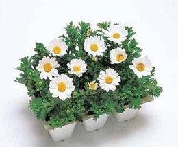 50 Seeds of Chrysanthemum Snowland Annual - $16.83