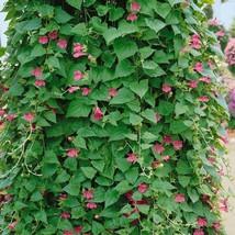 10Pcs Climbing Snapdragon Vine Rose Seeds Asarina Scandens Seed - $19.54