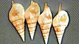 "Tibia Seashell Cut  4 1/4"" Long Fish Ocean- Beach-Shadow Box-Crafts--Nau... - $12.00"