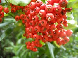 20 Pyracantha coccinea Seeds, scarlet firethorn Seeds - $7.00