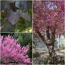 Eastern Redbud Tree (3-4') - Home Garden Outdoor Living - $79.99