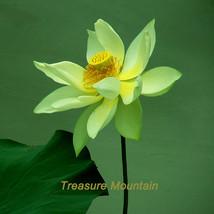 1 seeds / pack, Dancing Queen Yellow Lotus Nelumbo Nucifera DIY #NF208 - $6.43