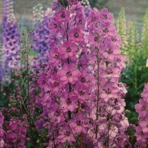 SHIPPED FROM US 50 Delphinium Pacific Giant Series Astolat Variety Seeds, JK05 - $20.94
