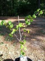 Black Isons Muscadine Grape 1Gal Vine Plants Vines Plant Grapes Vineyard... - $33.90