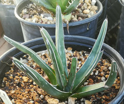 Agave ferdinand regis King of Agaves Tricuspid Terminal Spines - $13.81+