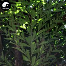 Buy Caryota Ochlandra Tree Seeds 20pcs Plant Chinese Evergreen Tree Caryota - $5.99