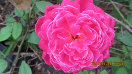Rose Bushes  Everblooming Sweetheart  Strong Fragrant Double Pink  2.5 I... - $5.95