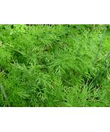 50 Anethum graveolens Seeds Dill Seeds  - $5.99