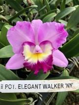 Pot Elegant Walker 'non' CATTLEYA Orchid Plant Pot BLOOMING SIZE 0408v image 1