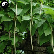 Buy Ovate Catalpa Tree Seeds 120pcs Plant China Catalpa Tree For Chinese... - $9.99