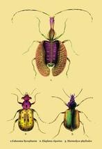 Beetles: Calosoma Sycophanta, Elaphrus Raperius et al. #2 by Sir William Jardine - $19.99+
