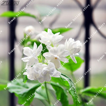 20 Pcs Chinese Pure White Jasmine Seed Aroma Ornamental Scented Perennia... - $5.52