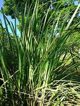 5 Rooted of Grown Fresh Healthy Lemon Grass - $24.75