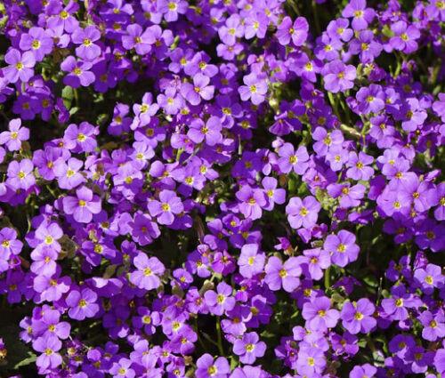 100 Seeds Aubrieta Rock Cress Purple, DIY Decorative Plant ov04 - $10.39