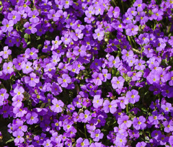 100 Seeds Aubrieta Rock Cress Purple, DIY Decorative Plant ov04 - $10.39