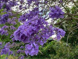 Purple Flowering Jacaranda Rose Tree Live Plant Mimosifolia FREE SHIP - $70.00
