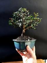Micro Bonsai Pistacia lentiscus tree Mastic Tree - Pistachier Lentisque - $86.30