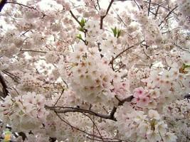 SHIPPED FROM US, Yoshino Flowering Cherry Tree - 1 Plant - 1 Gallon Pot gs02 - $33.99