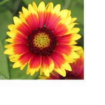 SHIP FROM US Blanket Flower, Annual Gaillardia Flower Seeds - Fresh   SPT5 - $6.00