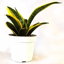 "Superba Robusta Snake Plant - Sanseveria - Impossible to kill! - 4"" Pot Gift  - ₨1,217.06 INR"